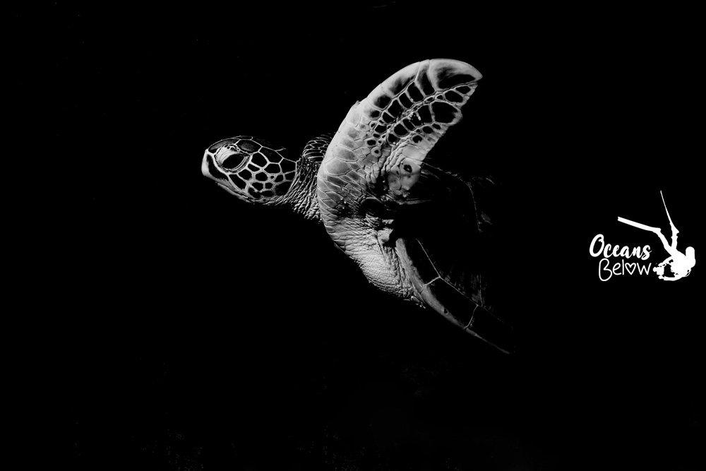 Green turtle at night