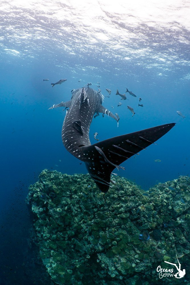 Whaleshark and reef