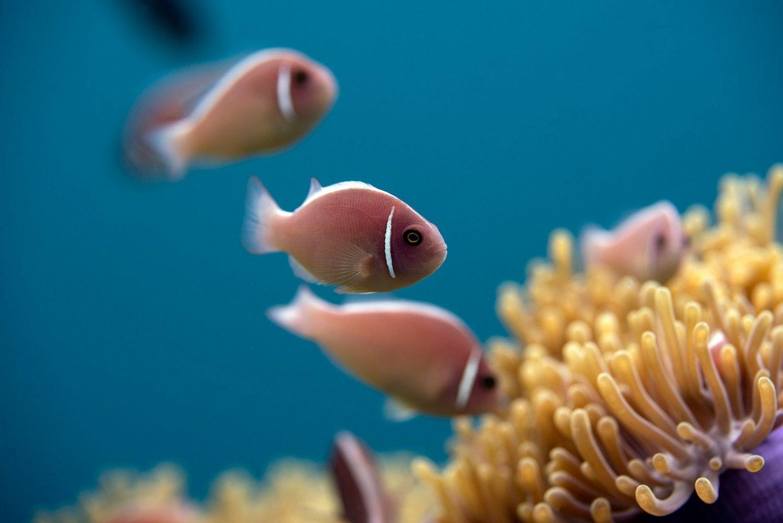 Anemone fish clownfish