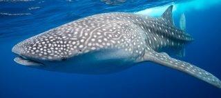Underwater photo of whale shark in Thailand