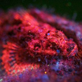 Fluoro image of a scorpionfish