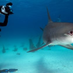 Photographing a Hammerhead in the Bahamas