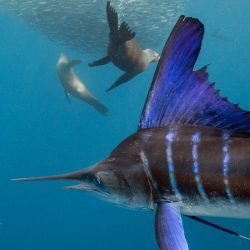 Striped Marlin and sealions hunting in a bait ball