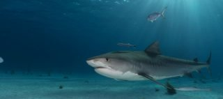 Tiger shark underwater photography