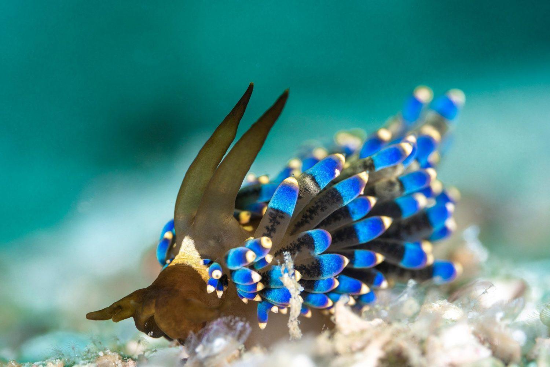 trinchesia nudibranch macro