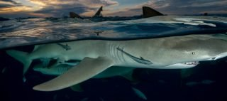 Underwater stock photography of shark