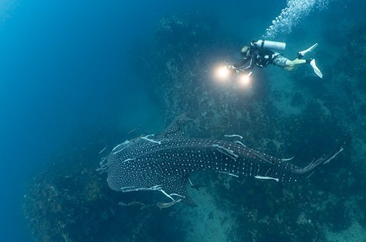 Underwater video course with whaleshark
